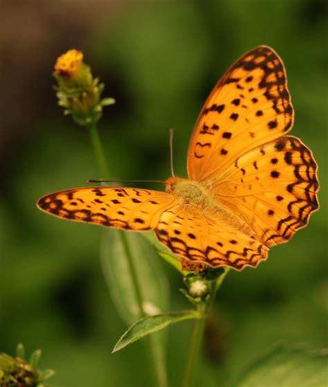 membuat kolase kupu kupu dari daun belajar dari kupu kupu daun hijau
