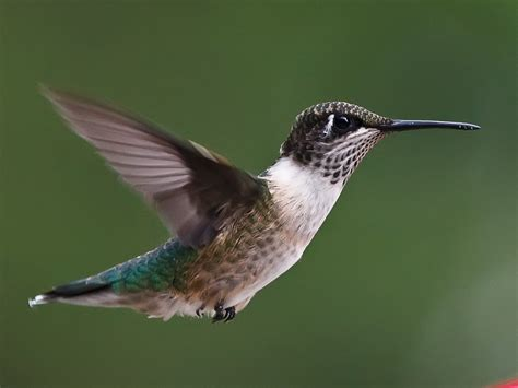 birds of the world hummingbirds
