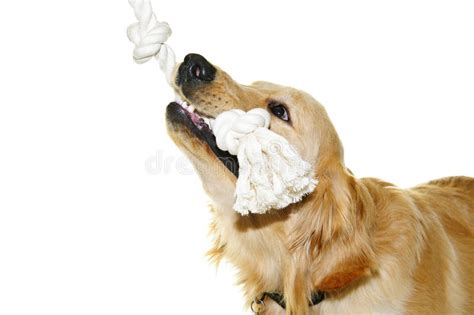 golden retriever puppy biting golden retriever biting rope stock image image