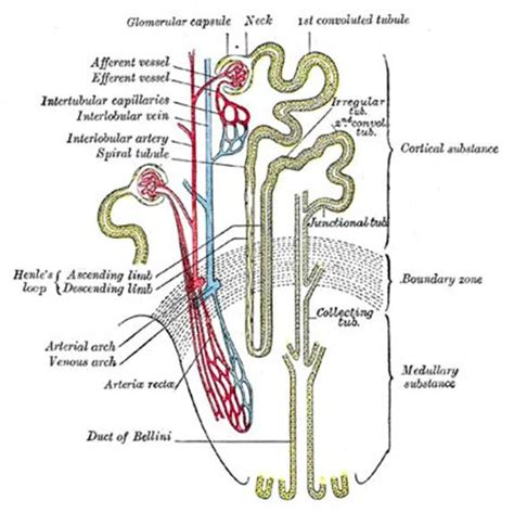 which section of the nephron filters blood plasma anatomy of the urinary system what causes utis and