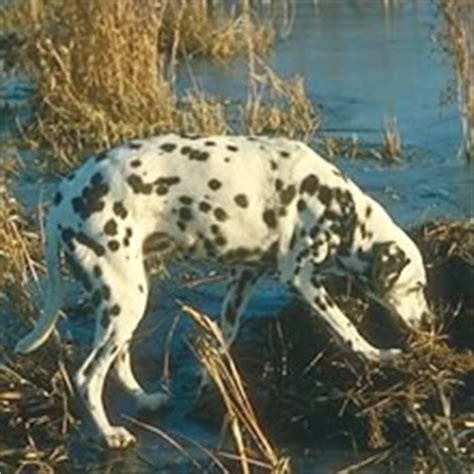 dalmatian puppies for sale in wv dalmatian breed information