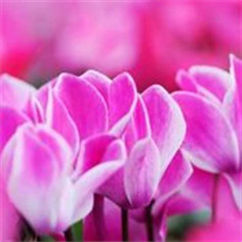 come curare i ciclamini in vaso ciclamini cura piante da interno come curare i ciclamini