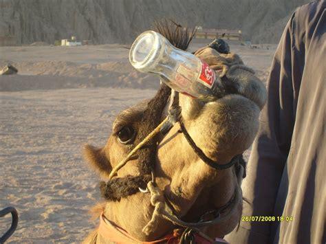 amata per caso la bibita amata dai cammelli viaggi vacanze e turismo