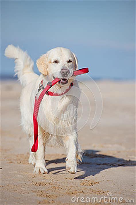 leash golden retriever puppy golden retriever holding a leash stock photo image 46921516