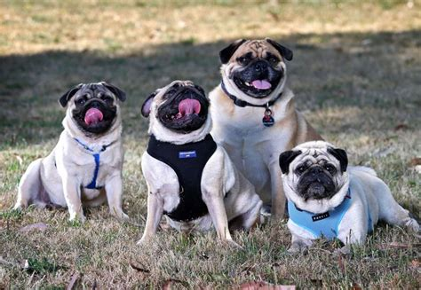 of pugs called 17 best images about gods creatures big and small on africa cattle and