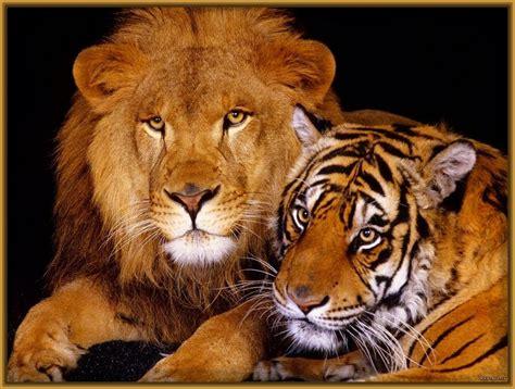 imagenes geniales de leones fondos de pantalla de leones y tigres archivos imagenes