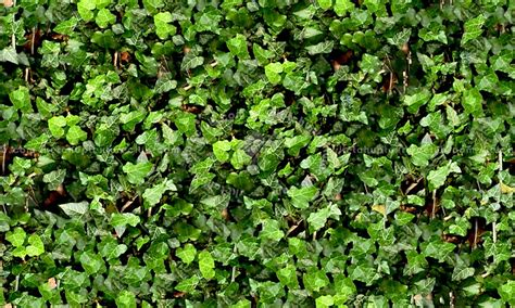 How To Clean Flat Paint Walls Ivy Hedge Texture Seamless 13110