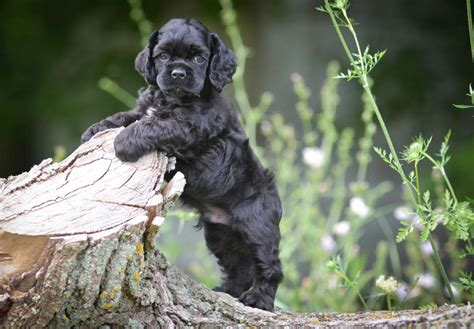 Cocker Spaniel Puppies For Sale - AKC PuppyFinder