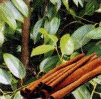 khasiat kayu manis  daun kayu manis angkringan jogja