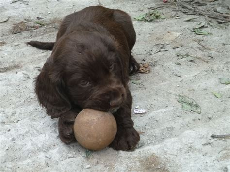 this puppy sprocker puppies for sale shepton mallet somerset pets4homes