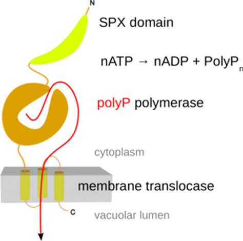 protein x is an unknown membrane protein polyphosphates structural plant biology laboratory