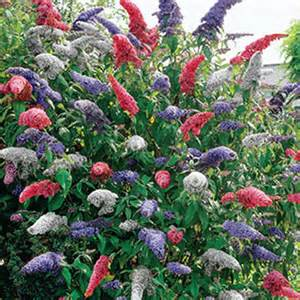 multi colored butterfly bush 3 in 1 butterfly bush buddleia at michigan bulb