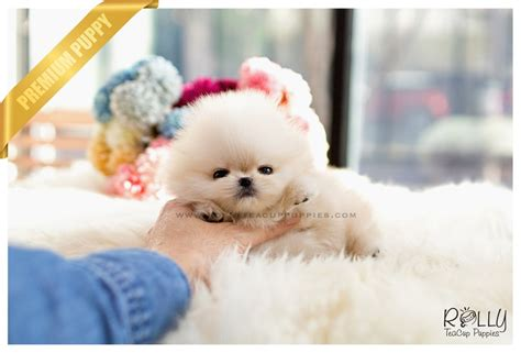 boo pomeranian price sold to kurt boo pomeranian f rolly teacup puppies