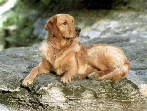 buddy golden retriever golden retriever buddy laying on a rock dogs animals background wallpapers on
