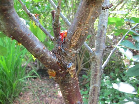 cherry tree rehab cherry tree insect disease ask an expert