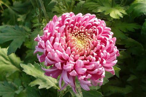 fiore crisantemo come coltivare il fiore crisantemo piante e fiori scelte