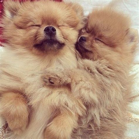 pomeranian sleeping 12 reasons why you should never own pomeranians
