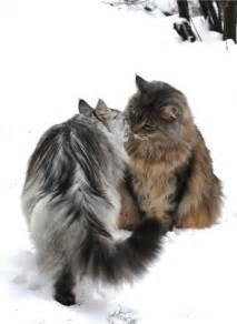 Norwegian Forest Cat Maine Coon Cat