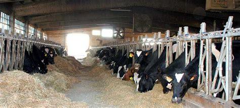 alimentazione bovini allevamento di bovini come avviarlo noi siamo agricoltura