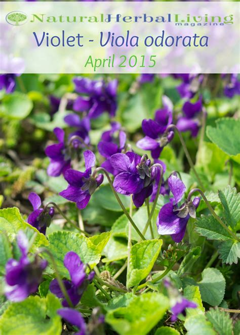 shrinking violet pdf download violet april 2015 pdf natural herbal living magazine