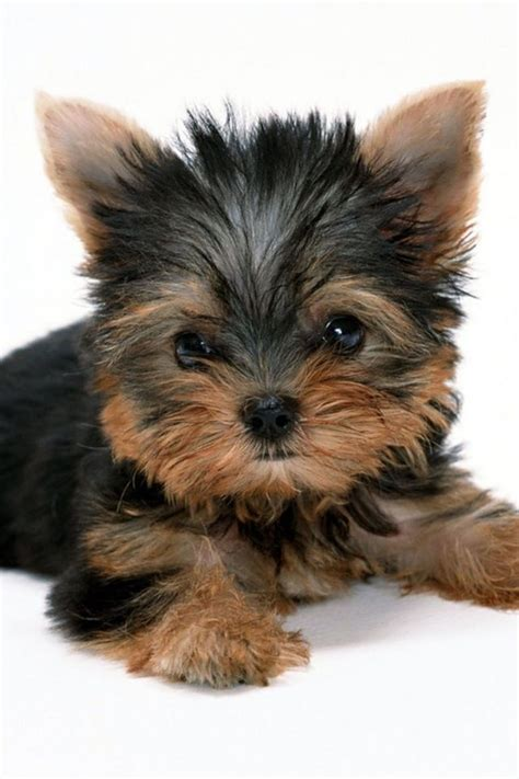 boy names for yorkies yorkie names yorkie names images yorkie names