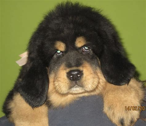 tibetan mastiff puppy for sale pin tibetan mastiff puppy for sale all puppies pictures and wallpapers on