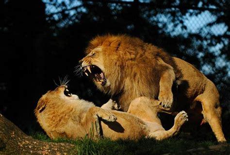 imagenes de tigres y leones juntos ranking de humano vs leon vs tigre vs leona vs oso vs