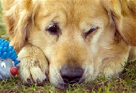 health problems in golden retrievers golden retriever gt 10 000 free articles