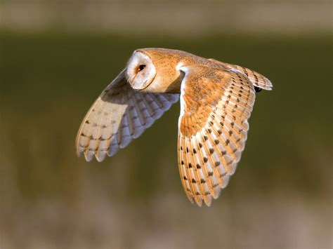 barn owl song call voice sound