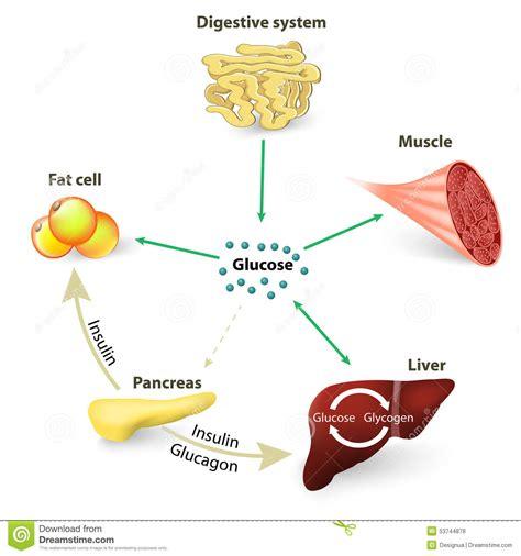 Nature S Plus Prost Actin 30s sucre de sang ou glucose et insuline illustration de