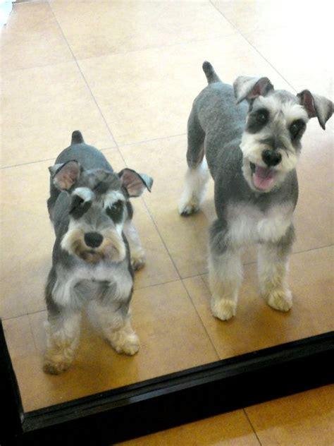 mini schnauser perfect haircut miniature schnauzer grooming cuts google search dogs