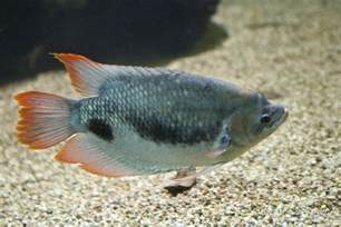 Freshwater Fish Freshwater Fish Clippix Etc Educational Photos For