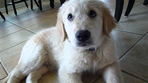 puppy s at home new golden retriever puppy waylon s days at home