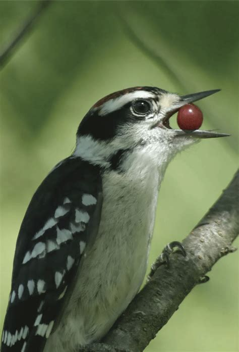the downy woodpecker habitat behavior characteristics