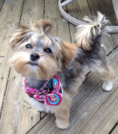 dog haircuts at home morkie haircuts trends dogs pinterest trends home