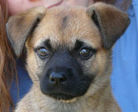 pug in german german shepherd and pug mix photo