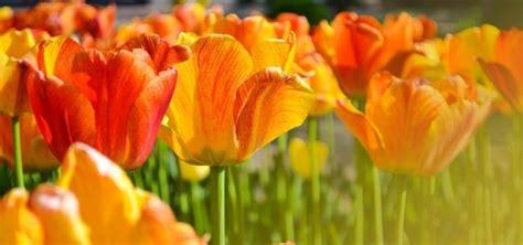 significato dei fiori gialli significato dei tulipani significato fiori la magia di