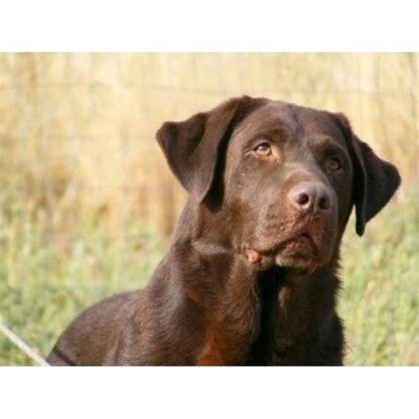 silver lab puppies colorado labrador retriever lab breeders in colorado