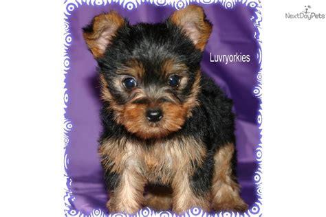 yorkies for sale omaha ne terrier yorkie for sale for 850 near omaha council bluffs nebraska