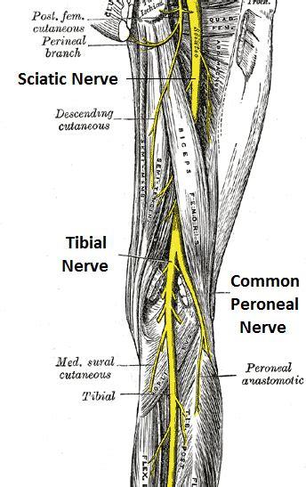 sciatic nerve diagram sciatic nerve beyond the dish