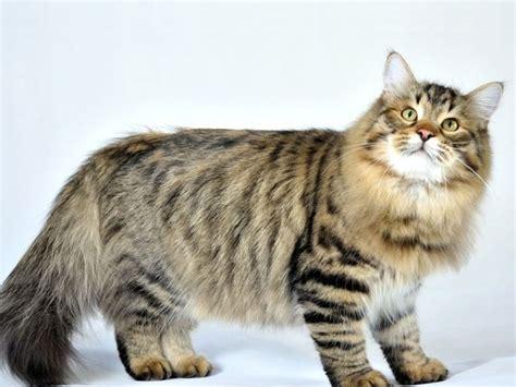 alimentazione gatto siberiano siberiano razze gatti