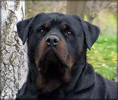 are german rottweilers family dogs big black breeds with pictures breed profiles