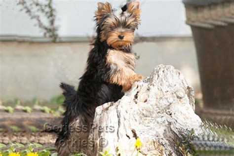 yorkie breeders near me yorkie breeders near me puppies for sale 702 789 7892