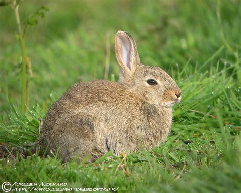 animal et co le lapin