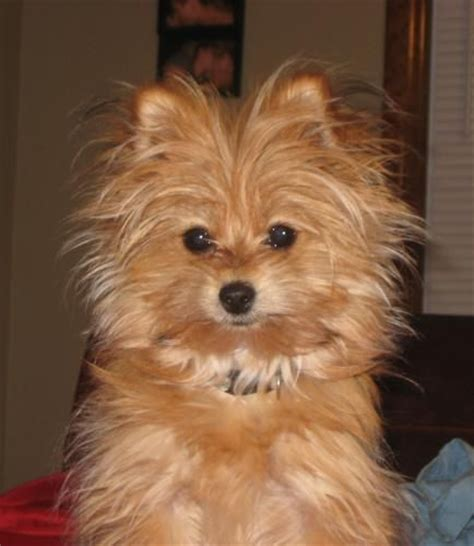 buy yorkie pomeranian mix pomeranian yorkie mix puppies my has issues breeds picture