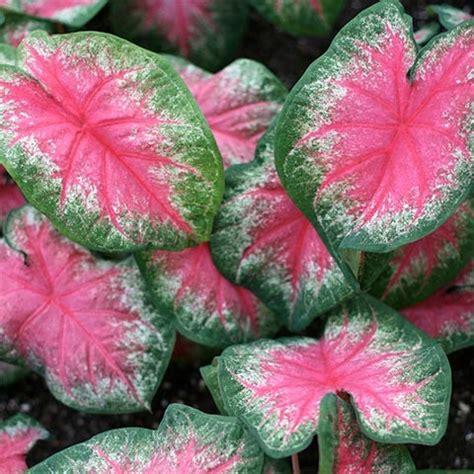 rosebud caladiums
