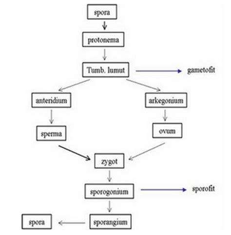 wiku hapsaras blog gambar metagenesis tumbuhan lumut