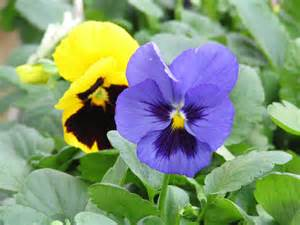 pansy colors pansies bring color to the garden