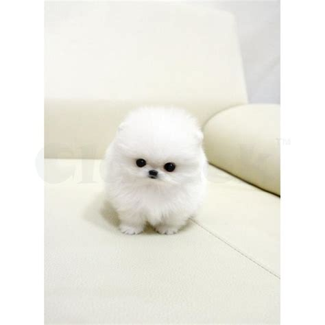 teacup pomeranian breeders australia teacup pomeranian for sale brisbane claseek australia