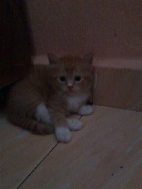 Hair Dryer Murah Untuk Kucing domestic medium hair cats sold 5 years 9 months kucing parsi untuk dijual from